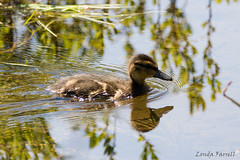 baby duck (londa.farrell) Tags: 2017 canada frogpond halifax may novascotia babyduck birds daytime duck duckling nature outdoor spring trails waterfowl wildlife