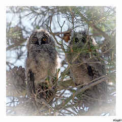Hibous Moyen-duc: juvéniles (gilbert.calatayud) Tags: asiootus hiboumoyenduc longearedowl strigidés strigiformes bird oiseau juvénile rapace nocturne aiguamolls espagne