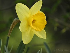 """A flower blossoms for its own joy."" Oscar Wilde (NaturewithMar) Tags: daffodil macro 7dwf friday flora flower flor"