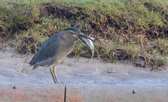striated heron (Butorides striata)-2836 (rawshorty) Tags: rawshorty birds australia nsw portmacquarie