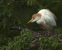 Mom egret protecting the nest......D800 (Larry Daugherty ~ Back from long WORKING vacation!) Tags: egret cattleegret anamalia chordata aves ciconiiformes ardeidae bubulcus bibis bubulcusibis nikond800 nikon d800 nikon500mmf4lens louisiana southcentrallouisiana rookery jeffersonisland ripvanwinklerookery nest backbuttonfocus ngc
