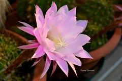 DSC_7627 (paolacincotti) Tags: cactacea cactacee cactae piante grasse giardino garden fiori flower flowers rosa pink echinopsis