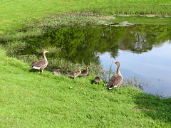 Geese - Mains of Drum (Ian Robin Jackson) Tags: geese nature birds water drumoak aberdeenshire scotland may reflections green