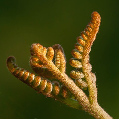 BRACKEN FRONDS UNFURLING (Tripod 01) Tags: plant bracken fern frond fronds brown furry leaves scales france charente 25may 2017 unfurling opening stretching reaching light unfolding expanding nikon d300 200mm ƒ11 1500sec iso400 lowlight squarecrop