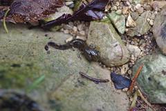Feuersalamander Larve ohne Wasser (Aah-Yeah) Tags: feuersalamander firesalamander salamander salamandra caudata larve wasser water achental chiemgau bayern