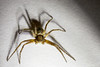 In The Spotlight (Normann Photography) Tags: 8legs tegenariaatrica yellow arachnida brown edderkopp hairy inthespotlight shadow spider