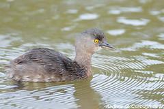 Least Grebe (Let there be light (A.J. McCullough)) Tags: grebe least leastgrebe texas texasbirds esterollanogrande weslaco birds