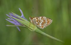 Melitaea phoebe (Samuele81) Tags: macro macrofotografia melitaea phoebe butterfly farfalla fotografia fotografianaturalistica farfalle foto natura nature ngc nikon nikonnaturephotography natur tamron 90mm