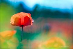 Poppy (Sandra Lipproß) Tags: poppy poppies mohn klatschmohn sommer summer natur nature bokeh depthoffield dof bunt colourful colours red rot blossom blüte sandralippross papaver