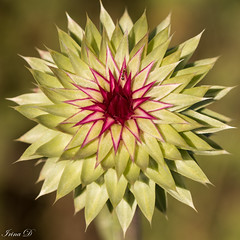 Fascinating thistle (Irina1010) Tags: flower ant insect green red pattern beautiful concentric nature macro canon thistle symmetry fractals ngc npc