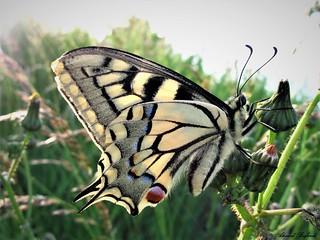 Butterfly 1257