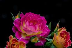 Natural Flora. (Omygodtom) Tags: flower flora rose garden contrast country colorful tamron90mm tamron nature nikkor natural nikon dof d7100 digital 7dwf macro bokeh sweet colours outside blossom