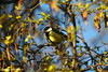 Great Tit against blue sky (richardstelmach) Tags: woodland greattit glenlyon scotland highlands nature ornithology outdoors bird landscape perthshire natural