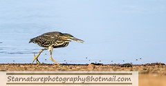 _DJA3527 copy (naturephotographywildlife) Tags: kruger wildlife scenery animals birdlife a99ii africa park bird