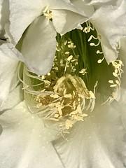 Crisp Shot of Night Blooming Cereus Macro At 8:20 AM (Chic Bee) Tags: white nightbloomingcereus cereus flowerstalk pollen stamens pistil stigma flowermorphology flowerparts flowerpot tucson arizona southwesternusa americansouthwest america