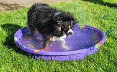21/52 - Global Warming Is A Good Thing, Right? (jayvan) Tags: dash aussie australianshepherd dog pool wet wild water fun summer 52wfd 52weeksfordogs home portland oregon sony