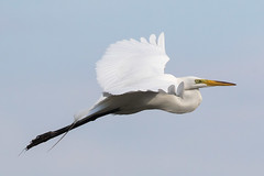 Great Egret 5-27-2017-143 (Scott Alan McClurg) Tags: aalba ardea ardeidae flickr animal back backyard bird bluesky flap flapping flight fly flying greategret land landing life nature naturephotography neighborhood portrait spring suburban urban white wild wildlife