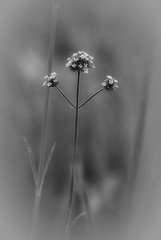 surprise! (courtney065) Tags: nikond200 nature landscapes flowers flora meadow field depthoffield mono monochrome bw blackandwhite blooms springblooms grasses blurred textures blossoms soft softlight abstract painterly