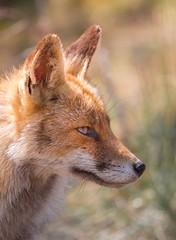 Portret of a beauty (Alex Verweij) Tags: portret redfox close wild nature natuur 5d canon alexverweij vos fox