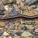 20170425a_0241_Millipede (CT_Imagery) Tags: