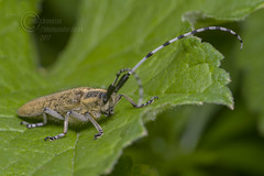 _IMG5528 Golden-bloomed Grey Longhorn - Agapanthia villosoviridescens (In explore) (Pete.L .Hawkins Photography) Tags: goldenbloomed grey longhorn agapanthia villosoviridescens petehawkins petelhawkinsphotography petelhawkins petehawkinsphotography pentax 100mm macro pentaxpictures fantasticnature fabulousnature incrediblenature naturephoto wildlifephoto wildlifephotographer naturesfinest unusualcreature naturewatcher insect invertebrate bug 6legs compound eyes creepy crawly uglybug bugeyes fly wings eye veins flyingbug flying beetle shell elytra ground