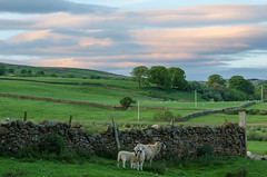 Red sky at night...... (andythomas390) Tags: sunset redsky sheep clouds fields nikon d7000 18200mm