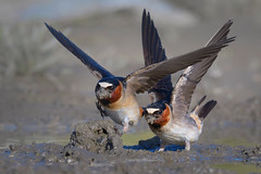 Home Depot for Swallows. (Amy Hudechek Photography) Tags: cliffswallows swallow nature wildlife mud build nest material work california amyhudechek