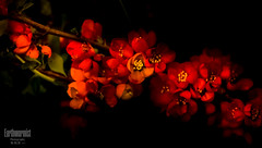 Red begonia (G.LAI) Tags: flower micro orgetmenot blue flora purple pink beauty 勿忘我 5d canon nature spring macro begonia red ed explore 海棠 春海棠 红色 color painting classicaldigital art photo images poem poet poetic romance flickr show plant
