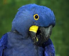 hyacinth macaw blijdorp JN6A7468 (joankok) Tags: macaw ara hyacintara hyacintmacaw papagaai zuidamerika southamerica vogel bird