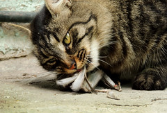 Otra de gatos (Alejandro8a) Tags: gato gatos eating comiendo cats cat animales animals plumas ave