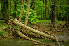 IMGP9707-Edi (grun.berger) Tags: las forest tree polska poland polen polish polsko pologne polonia польшча πολωνία polija polónia polonya польша lengyelország
