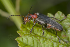 _IMG5574 Cantharis rustica (Pete.L .Hawkins Photography) Tags: cantharis rustica longhorn petehawkins petelhawkinsphotography petelhawkins petehawkinsphotography pentax 100mm macro pentaxpictures fantasticnature fabulousnature incrediblenature naturephoto wildlifephoto wildlifephotographer naturesfinest unusualcreature naturewatcher insect invertebrate bug 6legs compound eyes creepy crawly uglybug bugeyes fly wings eye veins flyingbug flying beetle shell elytra ground