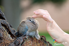 The Healing Hands (domenec_bm) Tags: bird dove injured healing hands nature