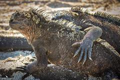 Friendship (pbmultimedia5) Tags: marine iguana galapagos national park ecuador wildlife animal pbmultimedia fernandina island