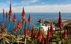 Cape of Good Hope Aloes (Panorama Paul) Tags: paulbruinsphotography wwwpaulbruinscoza southafrica westerncape capeofgoodhope capepointnaturereserve winter aloe redflowers flowers mountains ocean nikond800 nikkorlenses nikfilters