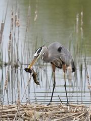 Heron with bullhead (tedford54) Tags: heron bullhead 1000islands stlawrenceriver wildlife water parkway nikon sigma dinner bird