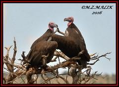 PAIR OF LAPPET-FACED VULTURES (Torgos tracheliotus).....MASAI MARA......SEPT,2016 (M Z Malik) Tags: nikon d3x 200400mm14afs kenya africa safari wildlife masaimara keekoroklodge exoticafricanwildlife exoticafricanbirds ngc