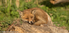 small fox sleeping at Oostvaardersplassen