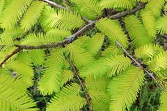 Metasequoia glyptostroboides-13b (The Tree Library (TreeLib.ca)) Tags: metasequoiaglypsroboides dawnredwood