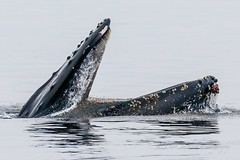 It's krill time (cbjphoto) Tags: carljackson humpback monterey moss ocean pacific photography landing watching whale
