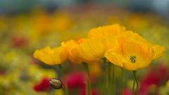 Yellow Poppies (Stefan Zwi.) Tags: blume flower 105mm f28 sigma sony a7 ilce7 emount farbe flora closeup macro nature mohn poppies gelb yellow iga berlin