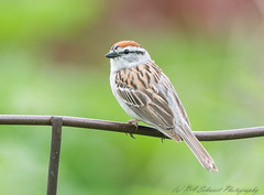 Chipping Sparrow (Ruthie Kansas) Tags: