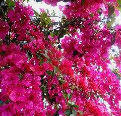 It's raining (Paula Luckhurst) Tags: bougainvilleas pinkbougainvillea pinkflowers flowers plants pink nature outdoor