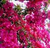 It's raining (Paula Luckhurst) Tags: bougainvilleas pinkbougainvillea pinkflowers flowers plants pink nature outdoor