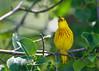 _53F8340 Vocalizing Yellow Warbler (male) (~ Michaela Sagatova ~) Tags: birdphotography canonphotography michaelasagatova warbler yellowwarbler