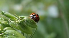 Snarling Harlequin (Nick:Wood) Tags: insect bug beetle ladybird ladybug harmoniaaxyridis succinea wildlife solihull malvernpark