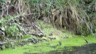 Cagnotte, Landes: tanches en train de frayer dans la mare chez moi