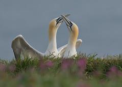 Gannet - Morus bassanus (Gary Faulkner's wildlife photography) Tags: gannet morusbassanus