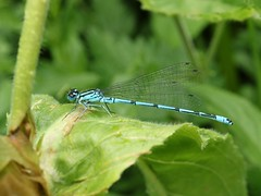 Azure Damselfly (Coenagrion puella) - Century Riverside (westoncfoto) Tags: azure damselfly riverside rotherham insect wildlife