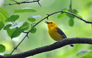 Singing Prothonotary